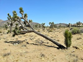Nearly broken Joshua Tree but it still grows just fine.