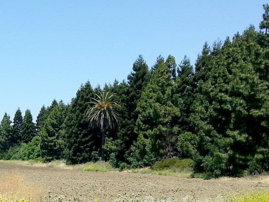 I found this view hilarious — a single palm tree surrounded by pine trees.